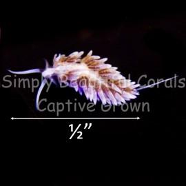 Berghia Nudibranch Medium 1/2