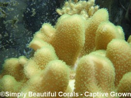 Tyree Fluorescent Green Polyp Leather (Sarcophyton or Toadstool)